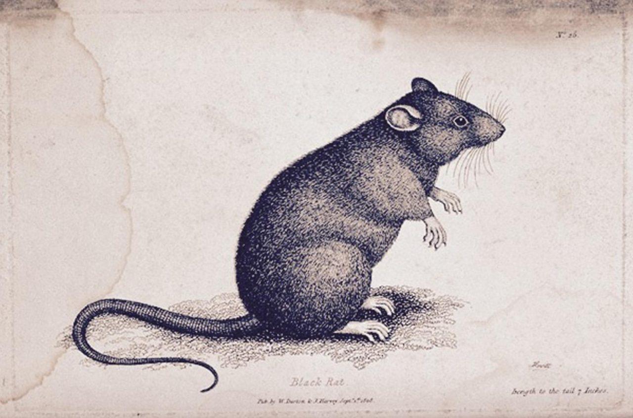 rata de la muerte negra preste