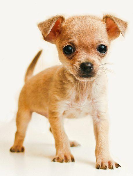 Chihuahua historia antigüedad